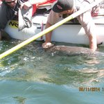 Catch and release sturgeon