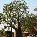 Boab Tree near the resort