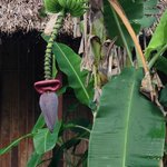 banana tree on the grounds