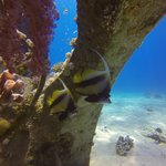 Angel Fish under artificial Coral structure