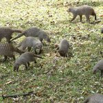 Some of the 3 Banded Mongoose on the lawn