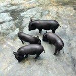 Cerdos vietnamitas enanos
