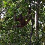 Orangutan at Samenggogh 2