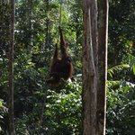 Orangutan at Samenggogh 1