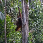 Orangutan at Samenggogh 3
