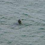 A Seal Frolics Below The Cliff