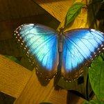 The beautiful Blue Morpho..