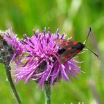 Burnet Moths are always attracted to the thistles in June.