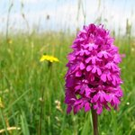 Pyramid Orchid in bloom, always lovely to see in late June.