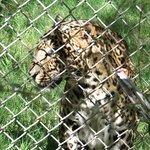 Leopard/Jaguar Mix