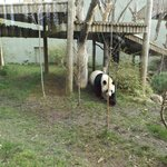 Beautiful male panda. Female was kept apart as they were trying to breed them at the time.