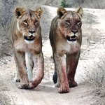 Two Lion Sisters