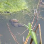 Pond snails below the water.