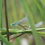 Male damselfly (linked to an obscured female).