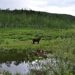 Moose on the drive up