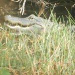 Aligator hembra