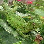 resident Iguana in the garden area