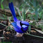 Splendid Wren Hamelin Bay - Marc Russo Photography
