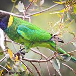 Parrot Hamelin Bay - Marc Russo Photography
