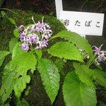 7月6日の誕生花で、花言葉は'涼しげ'です。