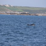 Dolphin off St Michael's Mount