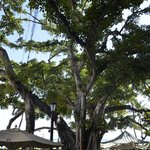 Banyan tree at Moana Surfrider Hotel
