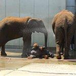 飼育員のシャワーで遊ぶゾウの親子