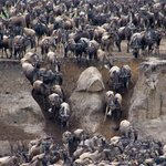 Wildebeest Entering the River