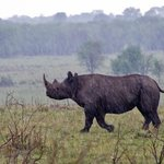 Elusive Black Rhino in the Rain