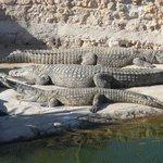 crocodiles au repos