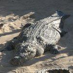 un  crocodile du nil