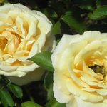 Visitor photo - yellow roses aglow in color!