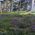 Heather and Scots Pine forest - perfect