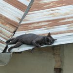 A cat on a hot tin roof.