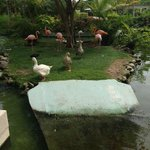 flamingos and geese that live on the hotel grounds