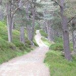 Scots Pine, Glen Quoich