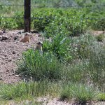 Prarie Dogs at Staging area 1