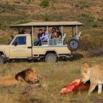 Lions on game drive