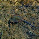 Синепятнистый скат хвостокол на рифе отеля