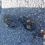 Beads of sea weed among small grey pebbles
