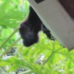 Local howler monkey on the patio roof