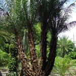 4 headed Phoenix palm