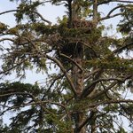 An Eagle's nest takes many years to be built & established...