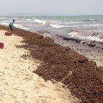 Clearing the beach of algae...very slowly