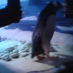 Penguin being ridiculed by visitors, making him believe the light from the phones are fish.