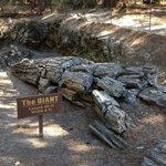 Fossilised redwood