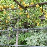 Walking under the lemon trees!