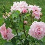 Rose Garden after a storm