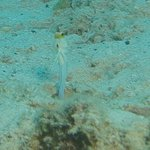 yellow headjawfish