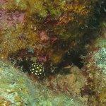 Smooth Trunkfish post-larval juvenile